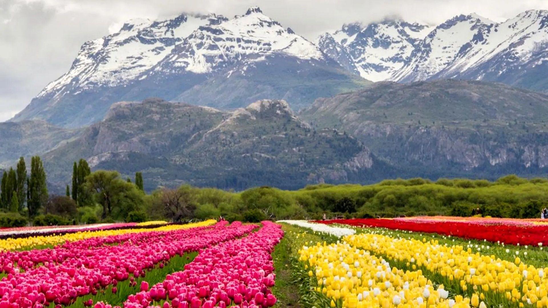 El Campo de Tulipanes de Trevelin, un paisaje único en la Patagonia -  IMPULSO